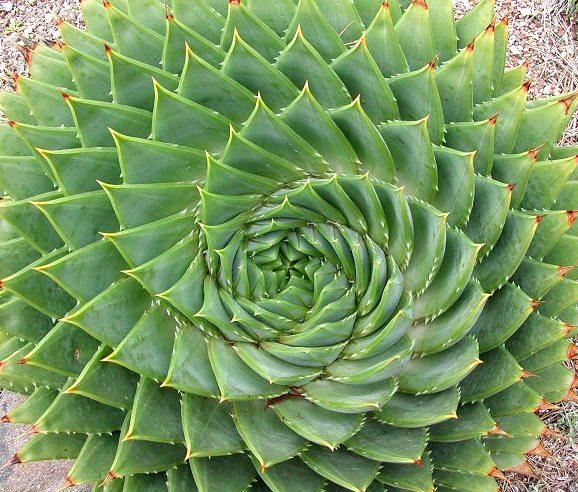 Aloe_polyphylla_8009